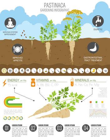 Pastinaca vorteilhafte Funktionen Grafikvorlage. Gartenarbeit, Landwirtschaft Infografik, wie es wächst. Flaches Design. Vektor-Illustration