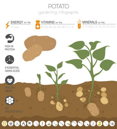 Kartoffel vorteilhafte Funktionen Grafikvorlage. Gartenarbeit, Landwirtschaft Infografik, wie es wächst. Flaches Design. Vektor-Illustration