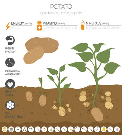 Potato beneficial features graphic template. Gardening, farming infographic, how it grows. Flat style design. Vector illustration