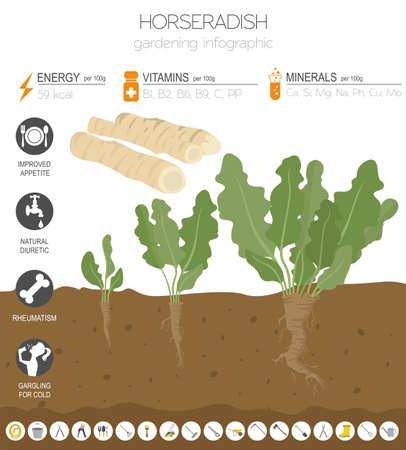 Meerrettich vorteilhafte Funktionen Grafikvorlage. Gartenarbeit, Landwirtschaft Infografik, wie es wächst. Flaches Design. Vektor-Illustration