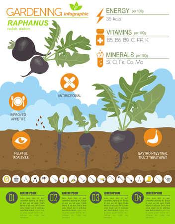 Modello grafico con caratteristiche vantaggiose di Raphanus. Giardinaggio, agricoltura infografica, come cresce. Design in stile piatto. Illustrazione vettoriale