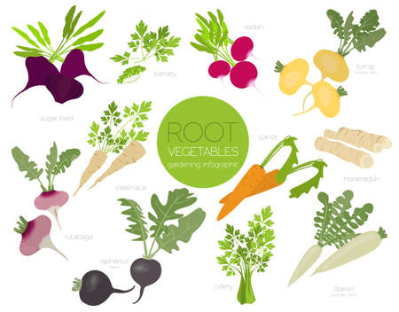 Root vegetables raphanus, radish, sugar beet, carrot, parsley etc. Gardening, farming infographic, how it grows. Flat style design. Vector illustration Stock fotó - 126388726