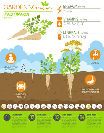 Pastinaca beneficial features graphic template. Gardening, farming infographic, how it grows. Flat style design. Vector illustration