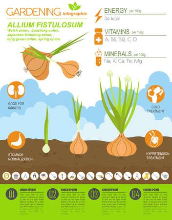Walisische Zwiebel vorteilhafte Funktionen Grafikvorlage. Gartenarbeit, Landwirtschaft Infografik, wie es wächst. Flaches Design. Vektor-Illustration