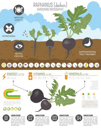 Raphanus vorteilhafte Funktionen Grafikvorlage. Gartenarbeit, Landwirtschaft Infografik, wie es wächst. Flaches Design. Vektor-Illustration Vektorgrafik