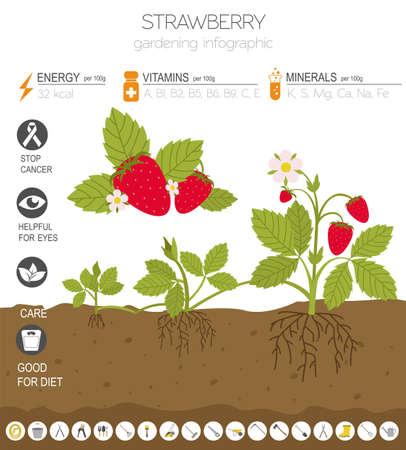 Erdbeere vorteilhafte Funktionen Grafikvorlage. Gartenarbeit, Landwirtschaft Infografik, wie es wächst. Flaches Design. Vektor-Illustration Vektorgrafik