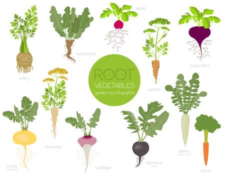 Ortaggi a radice raphanus, ravanello, barbabietola da zucchero, carota, prezzemolo ecc. Giardinaggio, agricoltura infografica, come cresce. Design in stile piatto. Illustrazione vettoriale