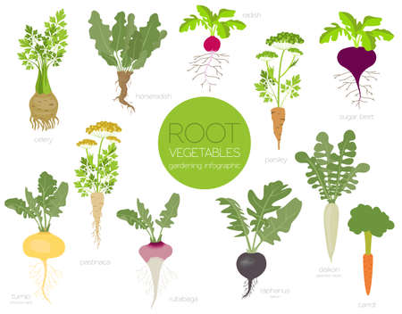 Root vegetables raphanus, radish, sugar beet, carrot, parsley etc. Gardening, farming infographic, how it grows. Flat style design. Vector illustration