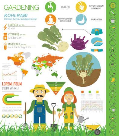 Kohlrabi, Kohlrübe vorteilhafte Eigenschaften Grafikvorlage. Gartenarbeit, Landwirtschaft Infografik, wie es wächst. Flaches Design. Vektor-Illustration Vektorgrafik