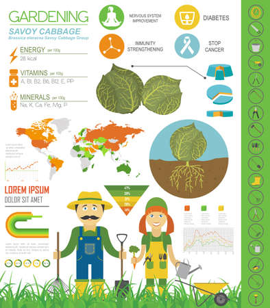 Wirsingkohl vorteilhafte Eigenschaften Grafikvorlage. Gartenarbeit, Landwirtschaft Infografik, wie es wächst. Flaches Design. Vektor-Illustration Vektorgrafik