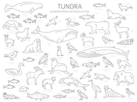 Tundra biome. Simple line style. Terrestrial ecosystem world map. Arctic animals, birds, fish and plants infographic design. Vector illustration Çizim