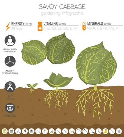 Wirsingkohl vorteilhafte Eigenschaften Grafikvorlage. Gartenarbeit, Landwirtschaft Infografik, wie es wächst. Flaches Design. Vektor-Illustration
