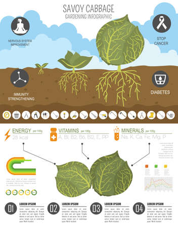 Savoy cabbage beneficial features graphic template. Gardening, farming infographic, how it grows. Flat style design. Vector illustration
