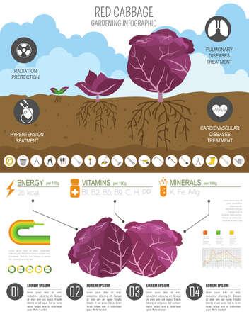 Rotkohl vorteilhafte Funktionen Grafikvorlage. Gartenarbeit, Landwirtschaft Infografik, wie es wächst. Flaches Design. Vektor-Illustration