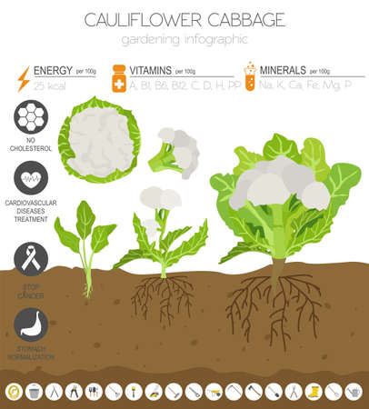 Cauliflower cabbage beneficial features graphic template. Gardening, farming infographic, how it grows. Flat style design. Vector illustration Illustration
