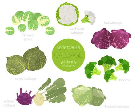 Kohl Vorteile Grafik-Set. Gartenarbeit, Landwirtschaft Infografik, wie es wächst. Flaches Design. Vektor-Illustration