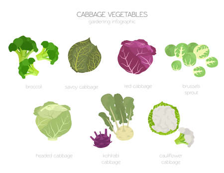 Cabbage beneficial features graphic set. Gardening, farming infographic, how it grows. Flat style design. Vector illustration