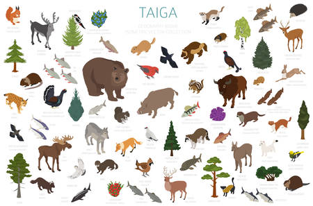 Taiga biome, boreal snow forest 3d isometry design. Terrestrial ecosystem world map. Animals, birds, fish and plants infographic elements. Vector illustration