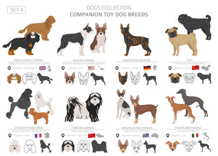 Companion and miniature toy dogs collection isolated on white. Flat style. Different color and country of origin. Vector illustration