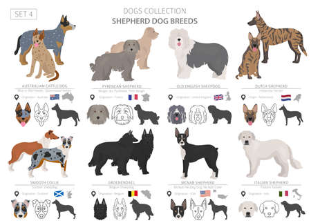 Shepherd and herding dogs collection isolated on white. Flat style. Different color and country of origin. Vector illustration