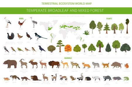 Temperate broadleaf forest and mixed forest biome. Terrestrial ecosystem world map. Animals, birds and plants graphic design. Vector illustration Illustration
