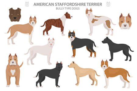 Pit bull type dogs. American staffordshire terrier. Different variaties of coat color bully dogs set.  Vector illustration
