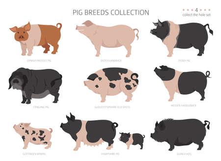 Pig breeds collection. Farm animals set. Flat design. Vector illustration