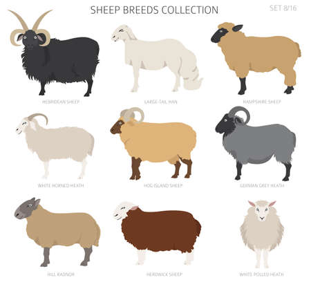 Sheep breeds collection  . Farm animals set. Flat design. Vector illustration