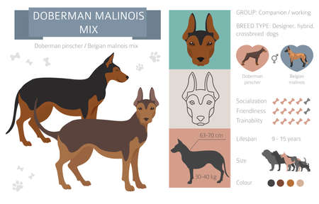 Designer dogs, crossbreed, hybrid mix pooches collection isolated on white. Doberman malinois mix flat style clipart infographic. Vector illustration