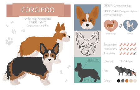 Designer dogs, crossbreed, hybrid mix pooches collection isolated on white. Corgipoo flat style clipart infographic. Vector illustration