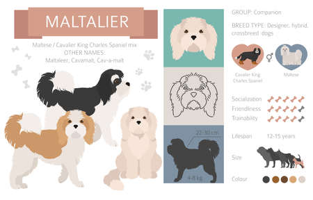 Designer dogs, crossbreed, hybrid mix pooches collection isolated on white. Maltalier flat style clipart infographic. Vector illustration