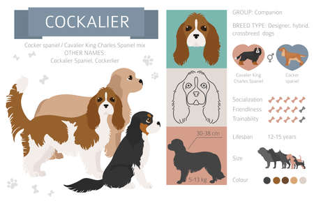 Designer dogs, crossbreed, hybrid mix pooches collection isolated on white. Cockalier flat style clipart infographic. Vector illustration Illustration