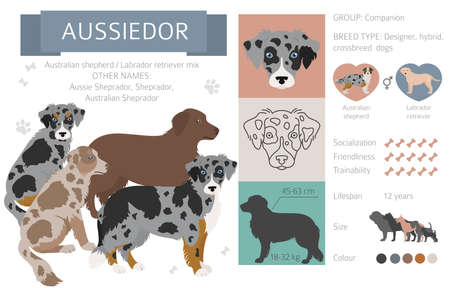 Designer dogs, crossbreed, hybrid mix pooches collection isolated on white. Aussiedor flat style clipart infographic. Vector illustration