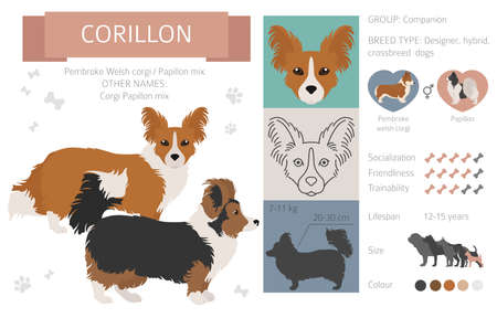 Designer dogs, crossbreed, hybrid mix pooches collection isolated on white. Corillon flat style clipart infographic. Vector illustration