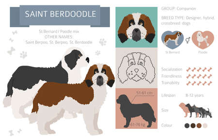 Designer dogs, crossbreed, hybrid mix pooches collection isolated on white. Saint berdoodle flat style clipart infographic. Vector illustration Ilustração