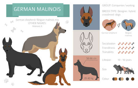 Designer dogs, crossbreed, hybrid mix pooches collection isolated on white. German malinois flat style clipart infographic. Vector illustration