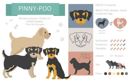 Designer dogs, crossbreed, hybrid mix pooches collection isolated on white. Pinny poo flat style clipart infographic. Vector illustration