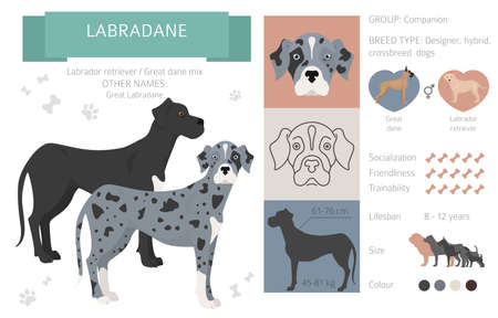 Designer dogs, crossbreed, hybrid mix pooches collection isolated on white. Labradane flat style clipart infographic. Vector illustration