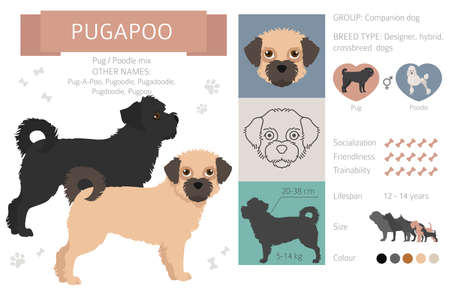 Designer dogs, crossbreed, hybrid mix pooches collection isolated on white. Pugapoo flat style clipart infographic. Vector illustration Ilustração