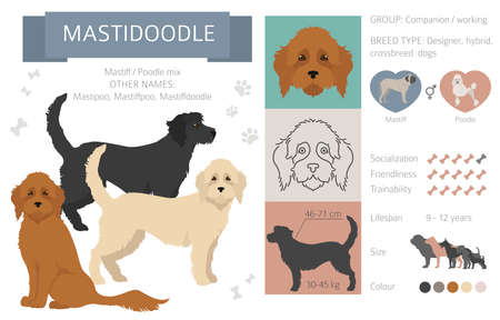 Designer dogs, crossbreed, hybrid mix pooches collection isolated on white. Mastidoodle flat style clipart infographic. Vector illustration