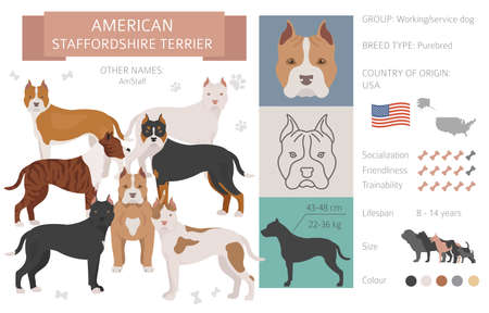 American staffordshire terrier dog isolated on white. Characteristic, color varieties, temperament info. Dogs infographic collection. Vector illustration