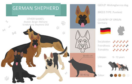German shepherd dog isolated on white. Characteristic, color varieties, temperament info. Dogs infographic collection. Vector illustration