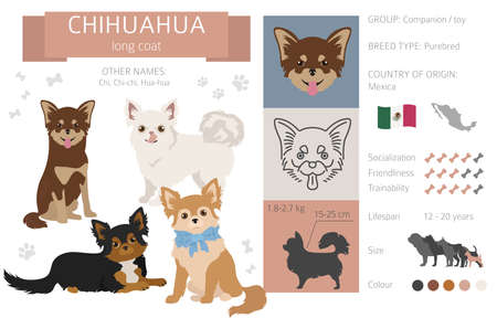 Chihuahua long coated dog isolated on white. Characteristic, color varieties, temperament info. Dogs infographic collection. Vector illustration