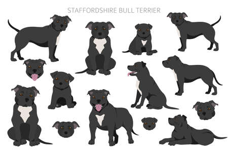 Staffordshire bull terrier in different poses. Staffy characters set. Vector illustration
