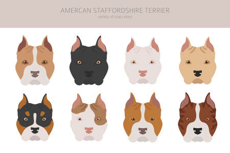 American staffordshire terrier dogs set. Color varieties, different poses. Dogs infographic collection. Vector illustration 일러스트