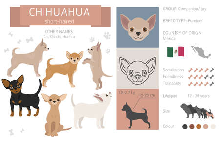 Chihuahua short coated dog isolated on white. Characteristic, color varieties, temperament info. Dogs infographic collection. Vector illustration Ilustración de vector