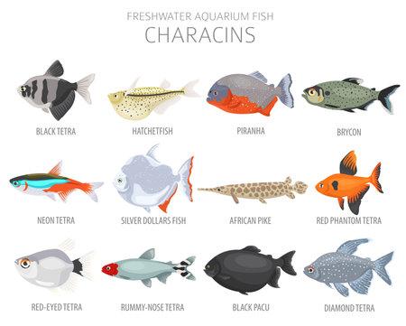 Characins fish. Freshwater aquarium fish icon set flat style isolated on white. Vector illustration
