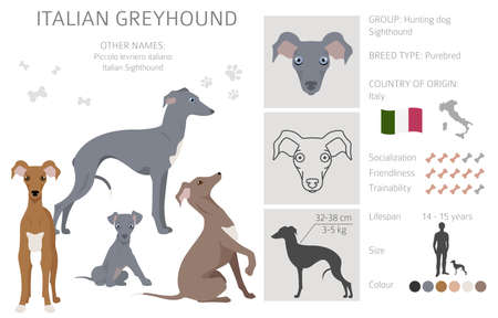 Italian greyhound clipart. Different poses, coat colors set. Vector illustration
