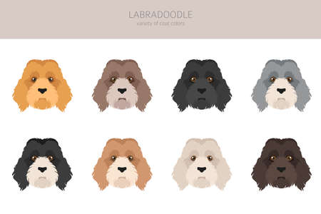 Labradoodle clipart. Different poses, coat colors set. Vector illustration