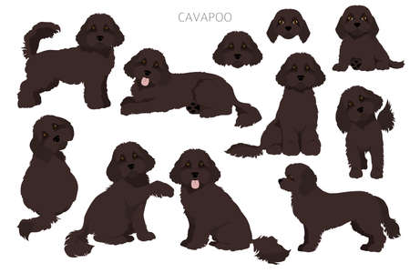 Cavapoo mix breed clipart. Different poses, coat colors set. Vector illustration